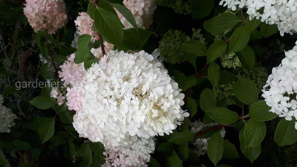 Что же удивительного в цветке Гортензия
