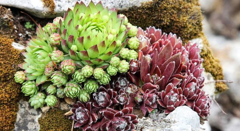 Украшение участка седумом. Как правильно ухаживать и как комбинировать его с другими растениями? Часть 2