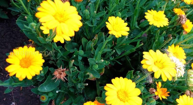 Свіжа або сушена календула - цілюща та популярна квітка для покращення вашого самопочуття
