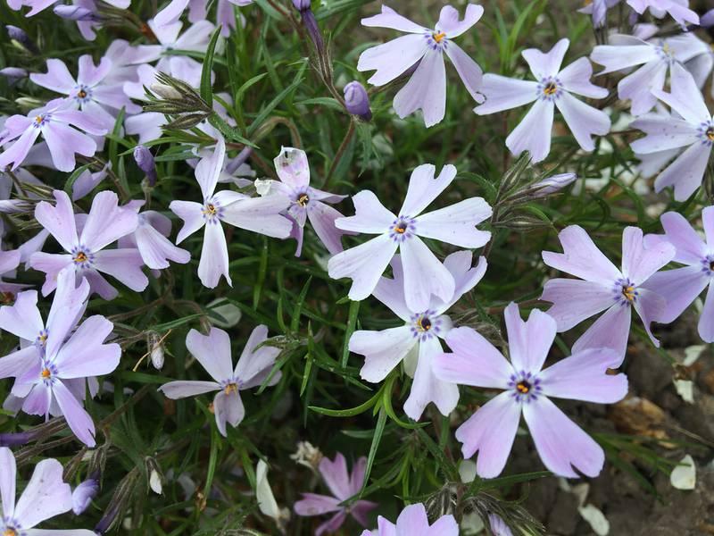 Флокс шиловидный: растение, образующее цветущие ковры