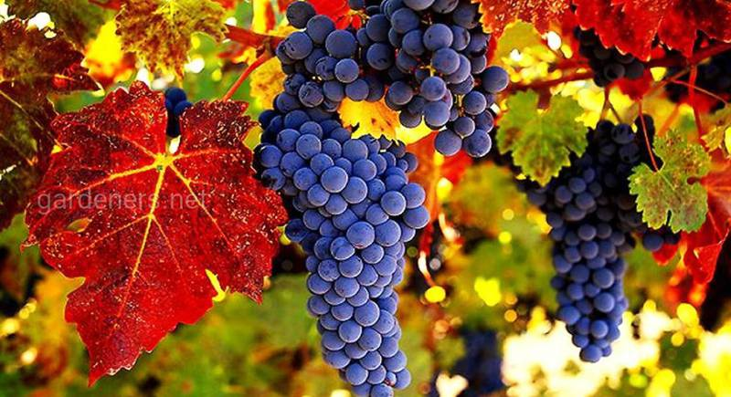 Виноград сорта Амурский