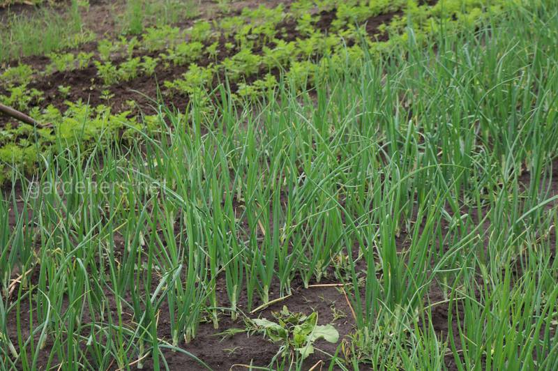 Как получить крупный лук и чеснок — подкармливаем растения
