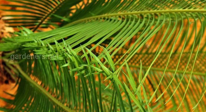 пальма цикас.jpg