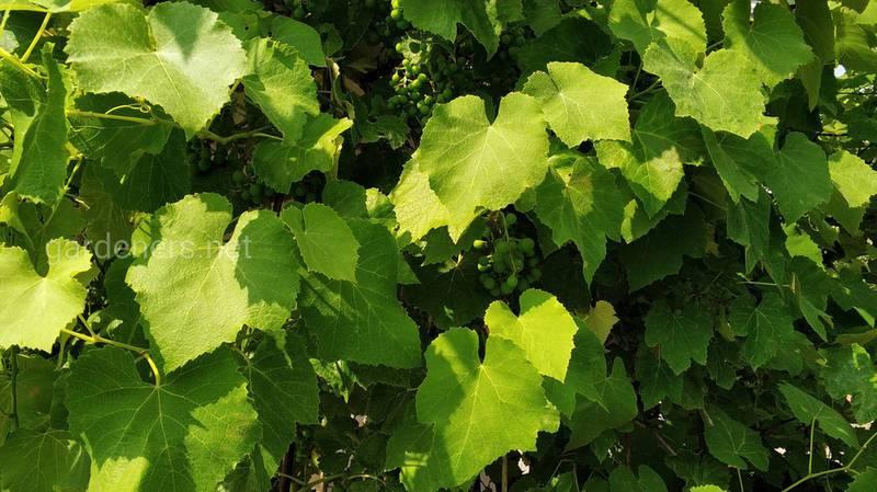 Почему у винограда сохнут листья
