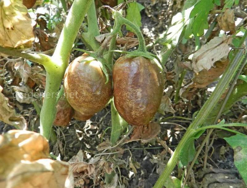 Чому виникає фітофтороз томатів та як врятувати рослину на початковій стадії захворювання?