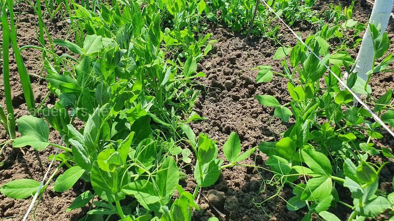 Як успішно вирощувати горох?