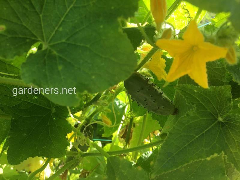 Хочете збирати огірки в грудні?