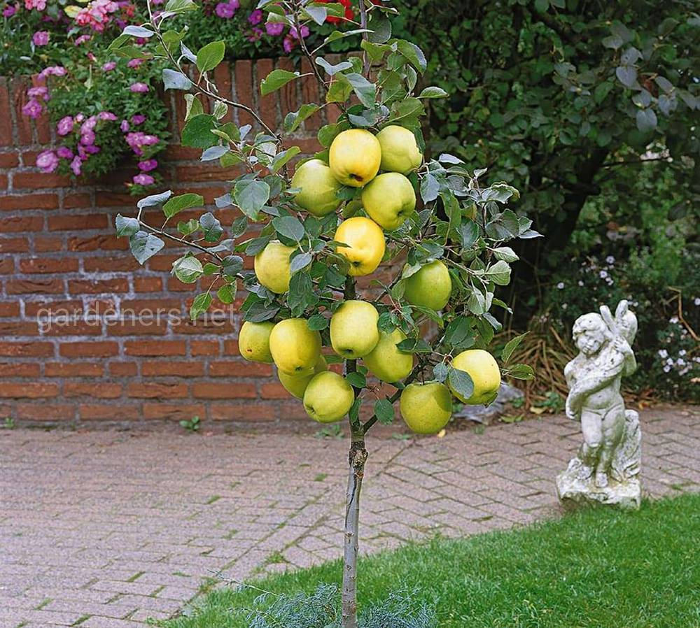 как выростить колонновидную яблоню