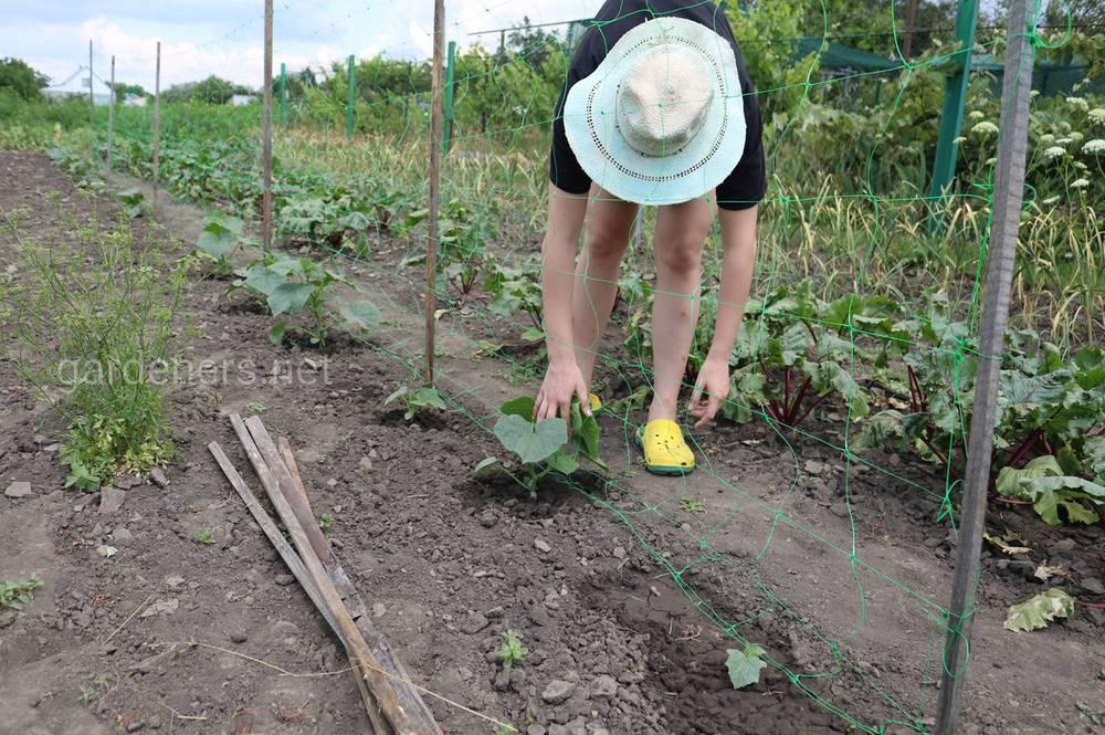 Проблемы при выращивании в открытом грунте