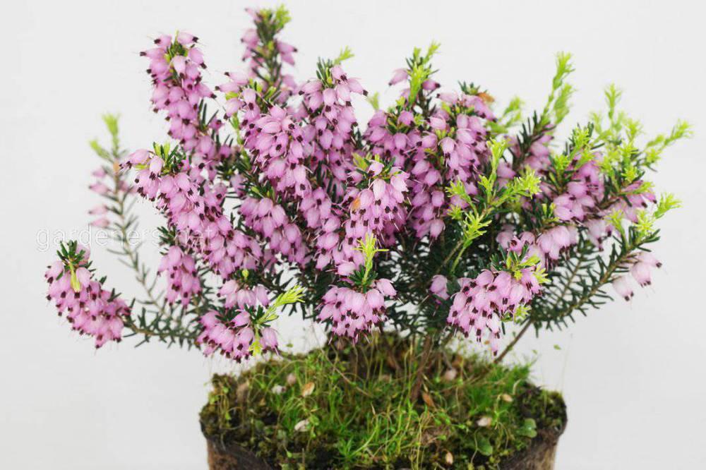 Сад москва, эрика растение купить в новосибирске