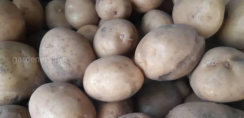 Як та при яких умовах забирають та зберігають картоплю?