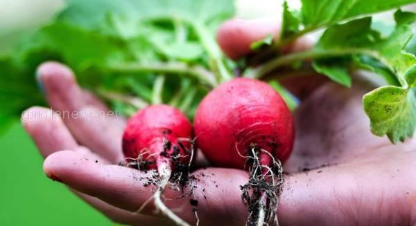 Выбор семян для посадки редиса
