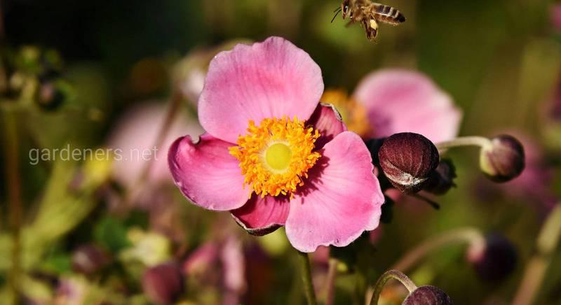 Анемона (ветреница): что нужно знать о прекрасном цветке