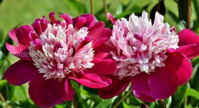 Секреты успешного цветения пионов