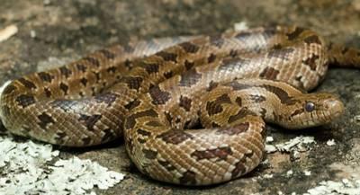Королевская змея красивобрюхая