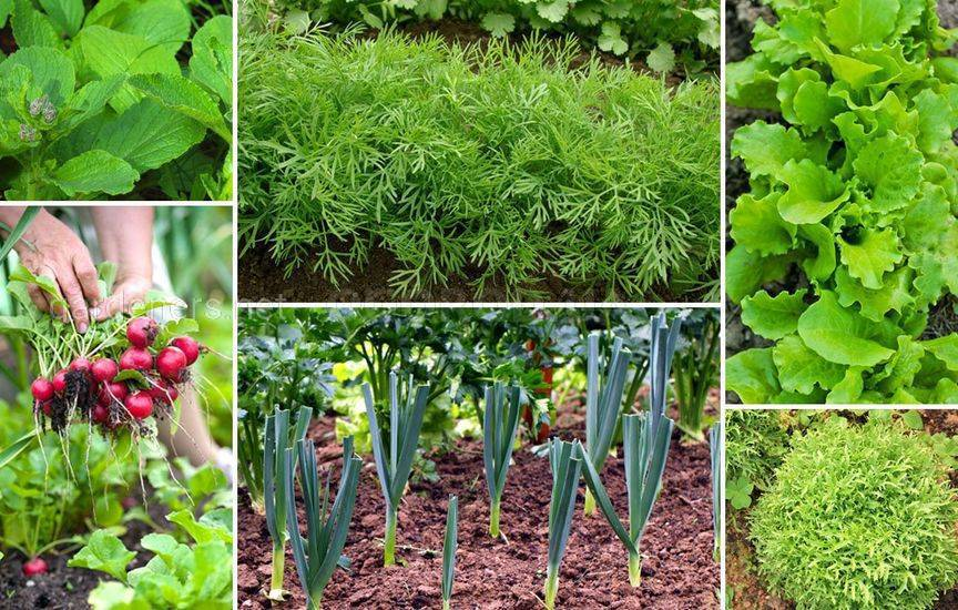 Овощи и зелень в июле