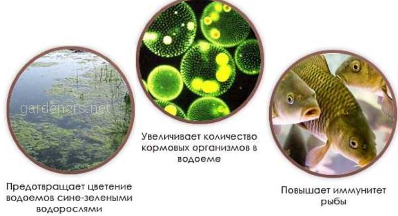 Применение суспензии хлореллы в рыбоводных прудах
