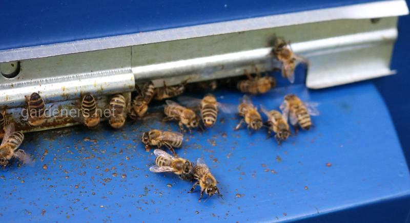 Почему после укуса пчел у некоторых людей отекает место укуса, а у других нет?