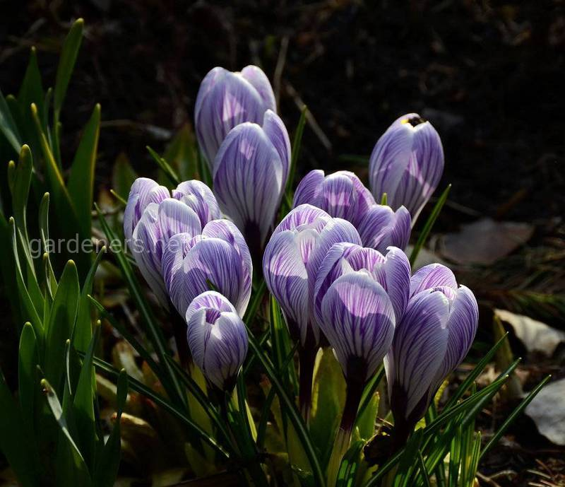 Як дізнатися, що крокуси готові до вигонки та подовжити їх цвітіння?
