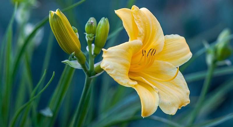 Лилейники – растения с однодневным цветением. Сорта лилейников