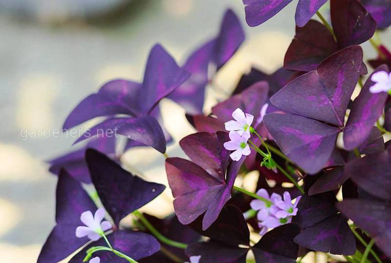 Кислица треугольная - прекрасное украшение для вашего сада!