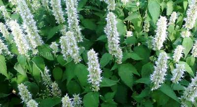 Лофант в саду: посадка, уход, размножение, использование в ландшафте