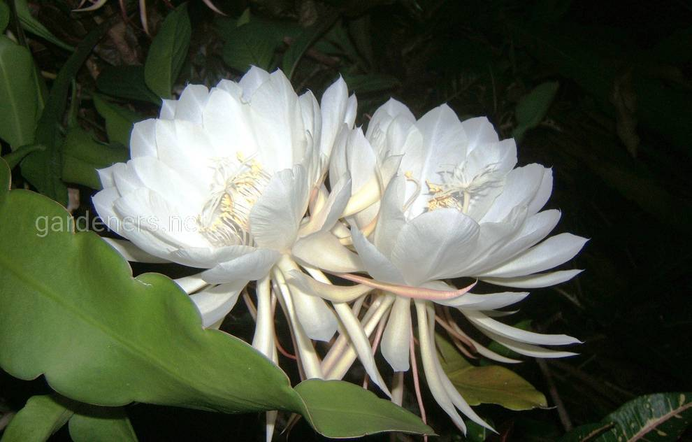 Цветок Кадупул