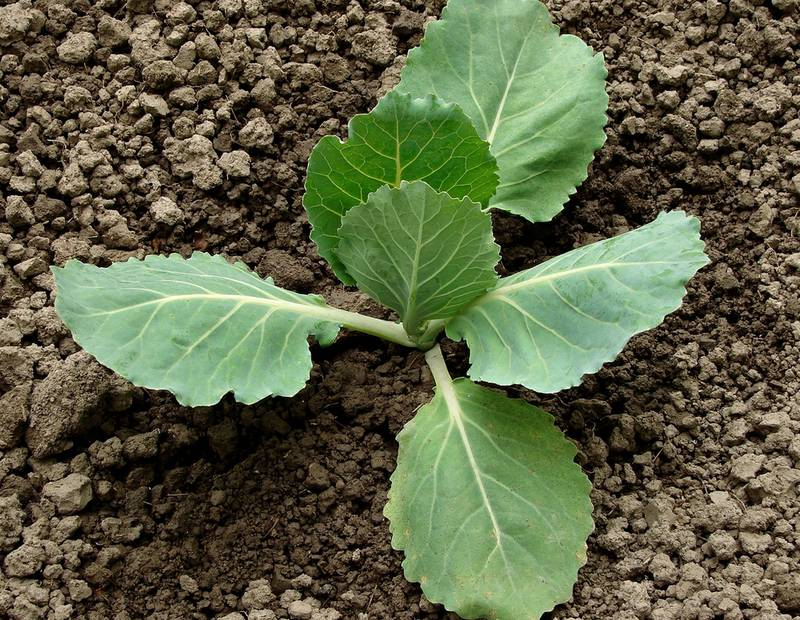 Когда и чем удобрять капусту: советы опытных огородников