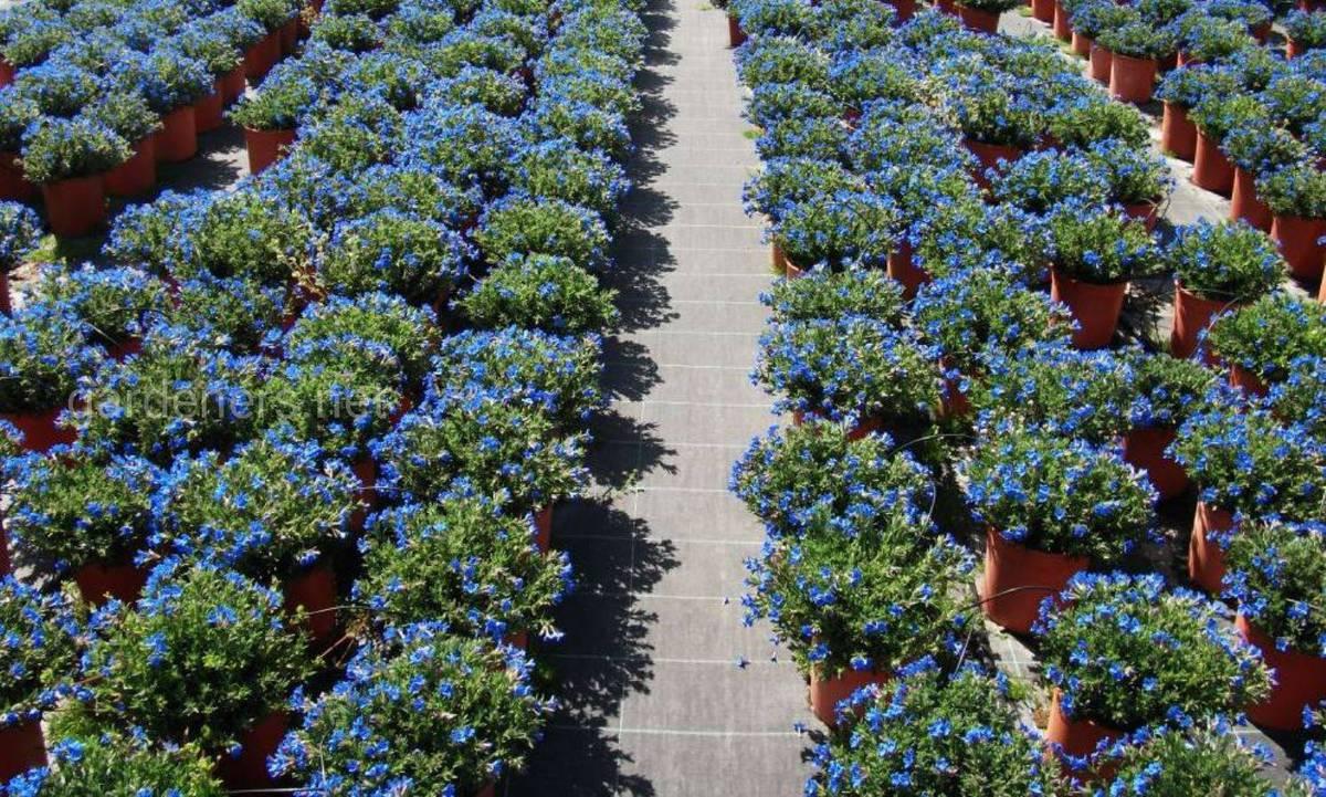 выращивание литодоры