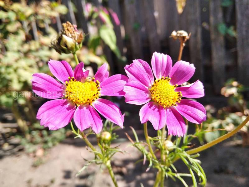 Космея - цветок для начинающих садоводов
