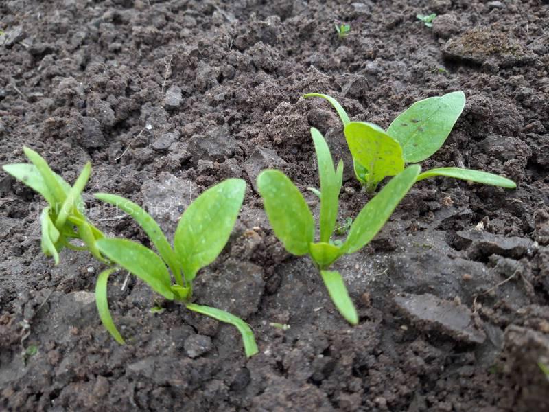 Важность севооборота и какие овощные культуры можно сеять в конце лета?