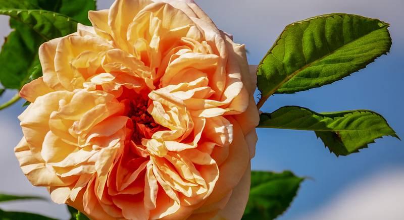 Дамасская роза – королева эфирных масел