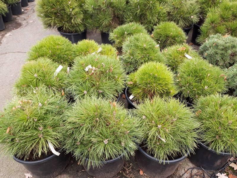 Советы по посадке хвойных деревьев