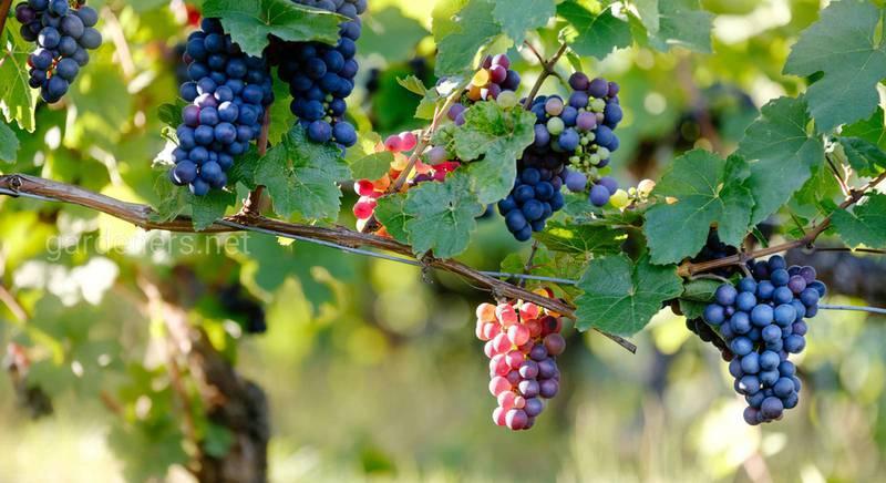 vinograd_loza_vetki_yagody_116728_3840x2160