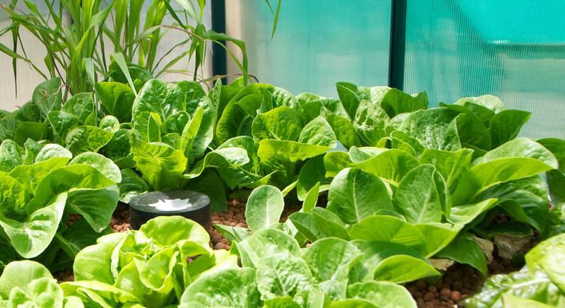 салат в теплице 1.jpg
