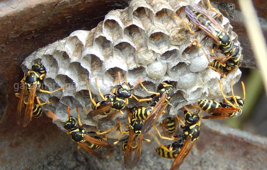 осиные пчела