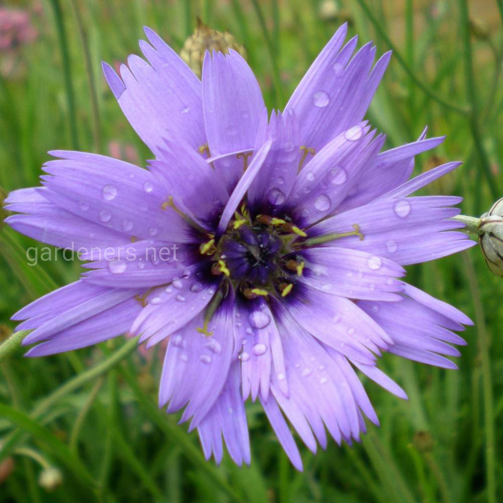 Catananche Major