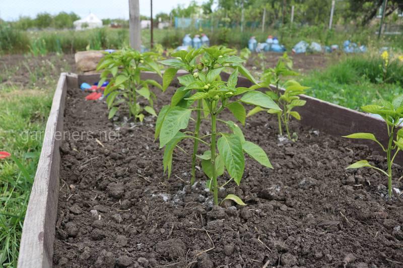 Процес посадки розсади солодкого перцю у відкритий грунт.