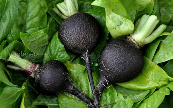 Как выращивать черную редьку, чтобы по-настоящему насладиться ее пряным вкусом?