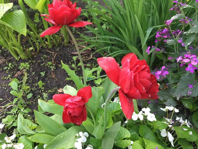 Лучшие сорта тюльпанов