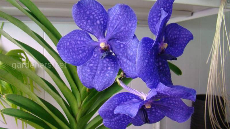 Как правильно ухаживать за орхидеей Ванда?
