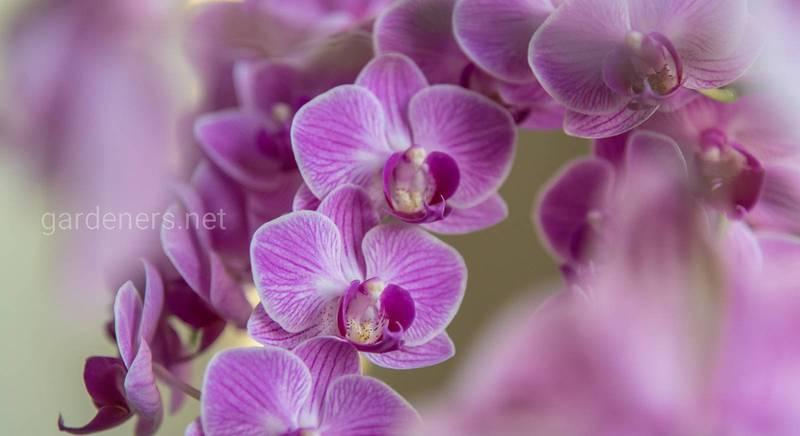 Види орхідей фаленопсис