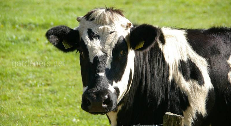 Оценка массы тела крупного рогатого скота: как это сделать на практике