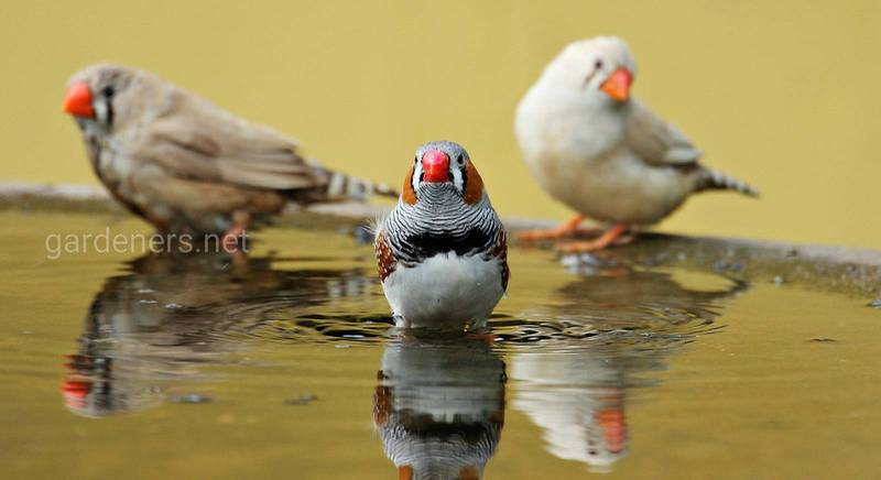 Співочий птах зяблик: який він, де живе і чим харчується