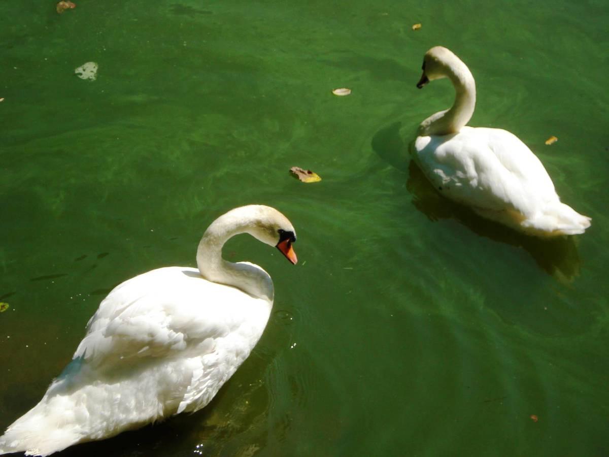 прекрасные лебеди Умани