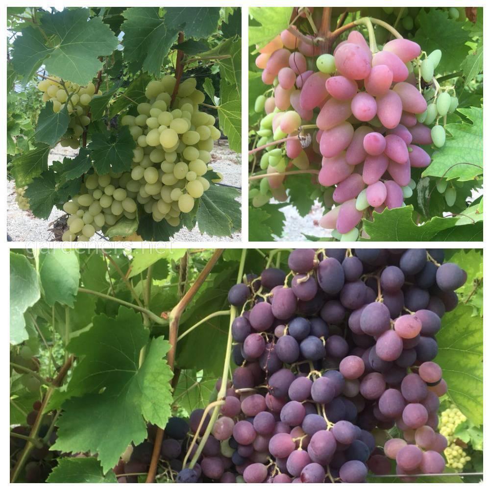 Підвищення виходу високоякісних щеплених саджанців винограду
