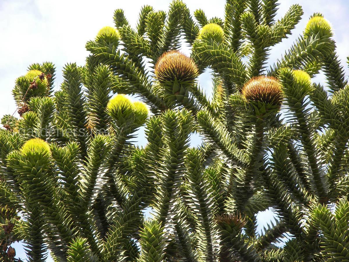 Араукария выращивание