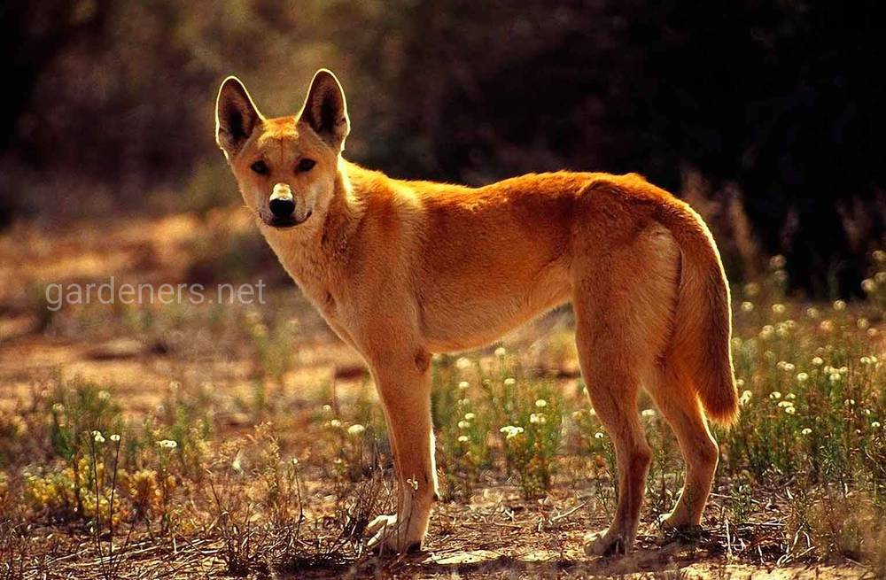 Динго — дикая собака Австралии