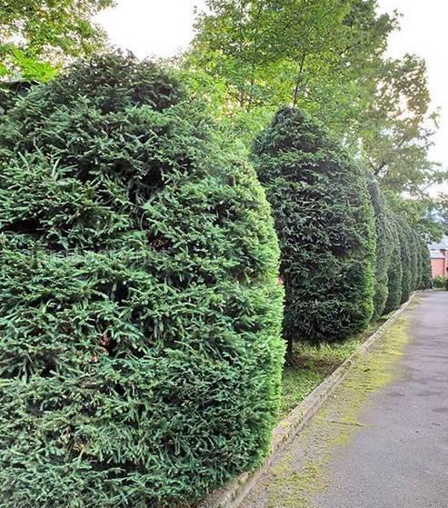Как посадить живую изгородь из ели