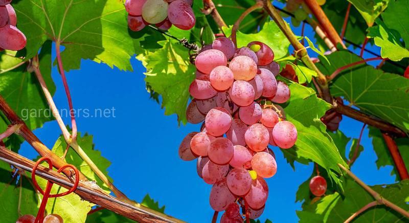 Виноград в июне